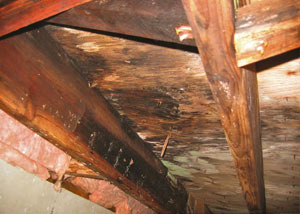 Extensive crawl space rot damage growing in Tyendinaga