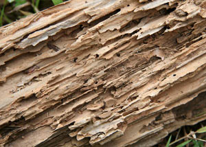 Termite-damaged wood showing rotting galleries outside of a Westport home
